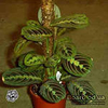 Маранта - невысокое растение, редко вырастающее выше 20 см. Маранта - Maranta (Марантовые - Marantaceae). .
